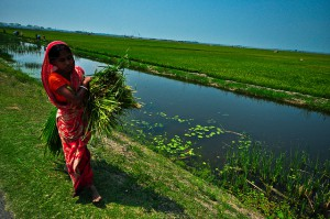 "Woman harvesting flood tolerant ""scuba rice."" Photo: International Rice Research Institute"